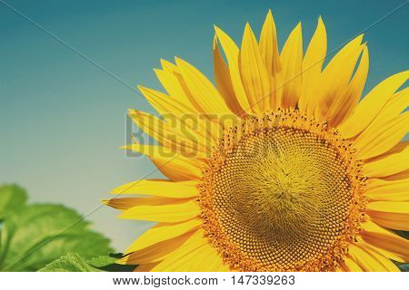 Sunflower at blue sky background. Agricultural business, sunflower oil production. Summer farming. Cultivated sunny field with bright yellow flowers. Soft toning