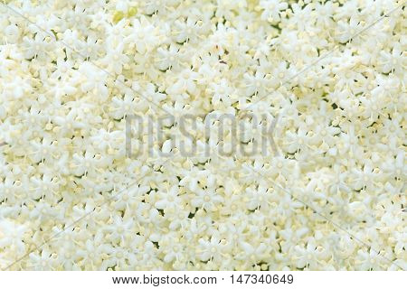 beautiful white flower background.