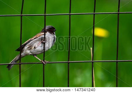 Sparrow talons clinging to a wire mesh fence