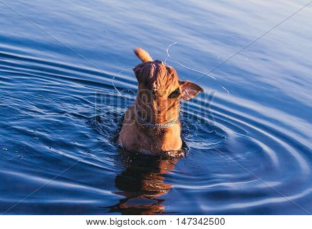 Dogue de Bordeaux or French Mastiff, close-up, in the water, shakes face, cheek, water, and drooling in a circle, chain, collar, iron, late autumn sunny evening, the top view,
