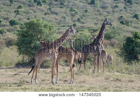 Giraffes in the wilderness of masai mara Kenya