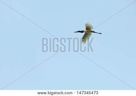 Jabiru, Jabiru mycteria, flying white bird with blue sky, Pantanal, Brazil