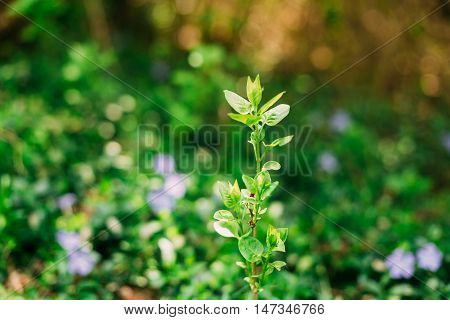 Close-Up Of Single Small Vernal Sprig With Green Leaves Of Future Fruit Tree Growing In Sunny Spring Summer Garden, Copyspace.