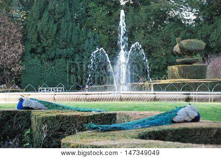 Male peacocks sleep peacefully in garden near fountain