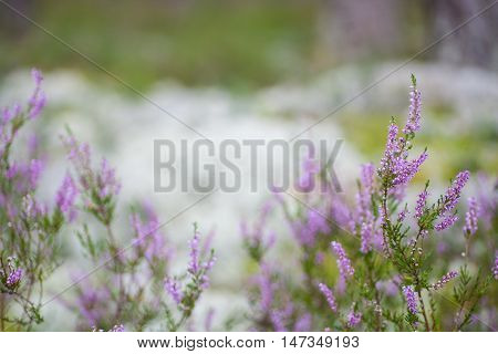 Amazing blossoming purple scotch heather (Calluna vulgaris) background with a shallow depth of field and empty space