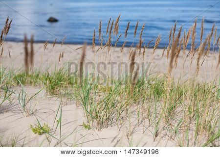 Vibrant green bulrush (Scirpus) plants growing on a sandy beach and a blue sea backdrop