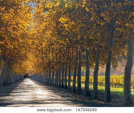 Tree lined road by vineyard in Napa in autumn colors. Orange leaves in fall on a row of trees lining street in California wine country. Rutherford, Napa Valley.