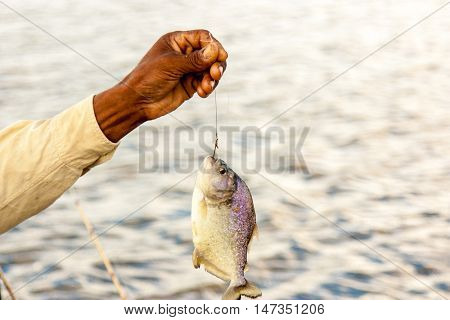 Piranha Fish on the hook, Pantanal, Brazil