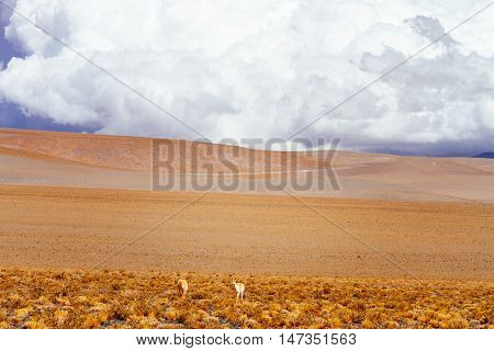Two Vicunas With Hills And Clouds In The Andes, Catamarca, Argentina