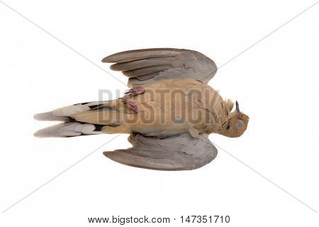 Dead Mourning Dove (Zenaida macoura) isolated on white, killed by flying into glass window
