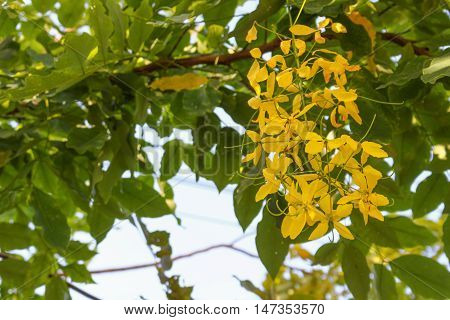 Cassia fistula.Golden Shower Tree: copy space for add text above and may be used as background :