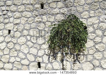 Wild Capers Plant Against A Stone Wall