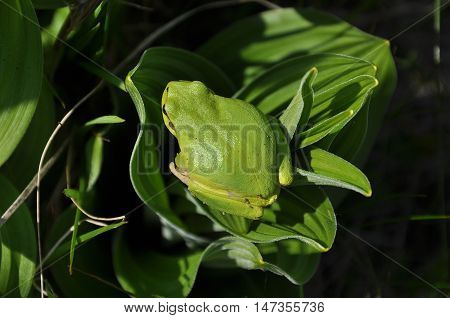 The European tree frog (Hyla arborea formerly Rana arborea) is a small tree frog found in Europe, Asia and part of Africa