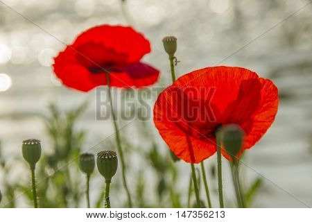 Two red poppy flowers and green buds on stems