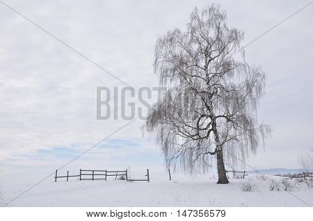 Betula pendula, commonly known as silver birch or warty birch