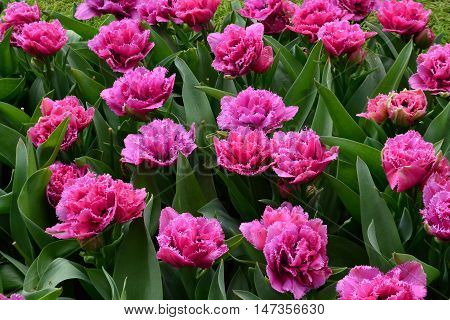 Group of pink flowers of the Matchpoint tulipa