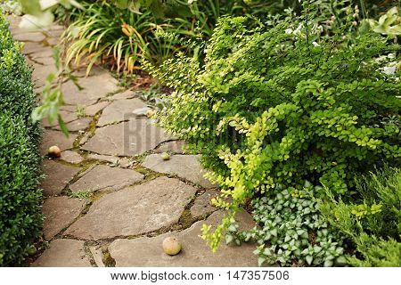 Berberis thunbergii Aurea and dead-nettle - ground cover plants landscaping near the garden path made of sandstone