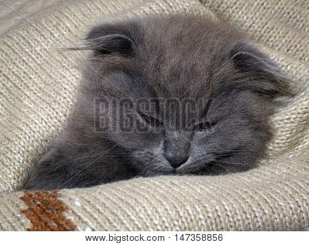 Sleepy kitten sleeps in a blanket. Grey Cat Fluffy Fold