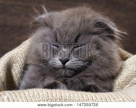 Kitten Fast Asleep In A Blanket. Grey Cat, Fluffy, Fold