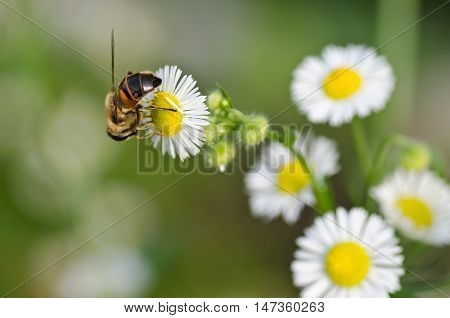 macro photo of a bee on a camomile flower