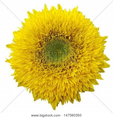 yellow sanflower isolated on white bakground. Helianthus annuus.