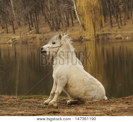 white pony standing on the ground on a background of an autumn forest and lake