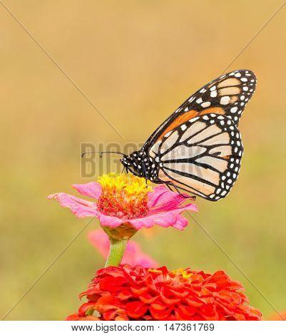 Monarch butterfly on a pink Zinnia in summer sun