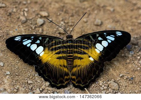 Portait of tropical parthenos sylvia butterfly. Macro photography of wildlife.