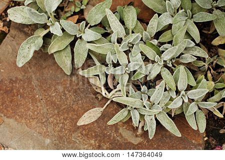 Stachys byzantine - small pale blue leaves lie on the sandstone. Top view.