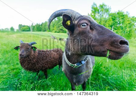 Goats on a green meadow in summer