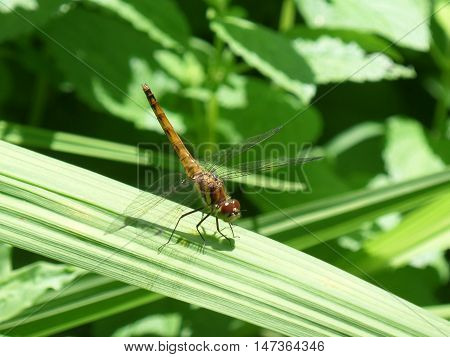 Dragonfly on a Green Leaf in the Sunshine