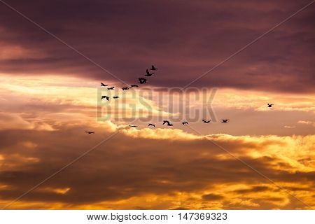 Group of cormorant flying in the sky.