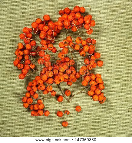 Rowan rowanberry. Dried herbs for use in alternative medicine spa herbal cosmetics herbal medicine preparing infusions decoctions tinctures powders ointments butter tea bath.