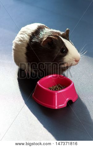 Little guinea pig eating from pink bow
