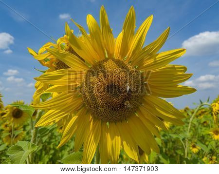 Beautiful nature unveiled by a the sunflower in a hot summer day