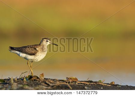 Wood Sandpiper, Tringa glareola, isolated small wader in water, mirroring sky. Close up photo of migrating bird. Autumn, Europe