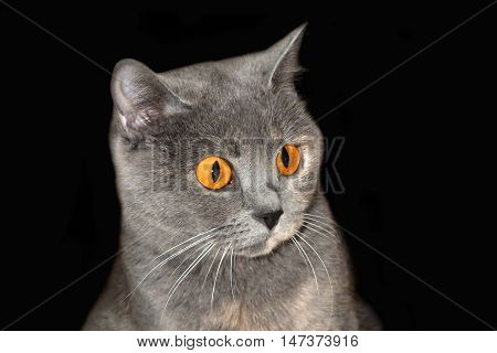 Look round startled yellow eyes of a cat. Beautiful gray cat lying on the soft. British blue cat on isolated background. Home favorite animal with a lot of mysterious look.