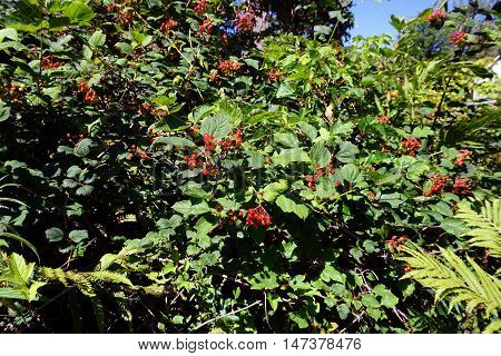 Clusters of red berries cling to a highbush cranberry bush, (Viburnum trilobum), also called the American cranberry bush, in Harbor Springs, Michigan during August.