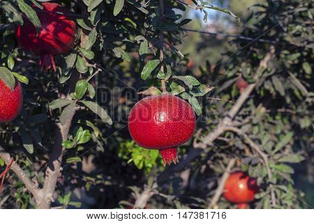 Organic pomegranate farm with natural fruit growing on the branches