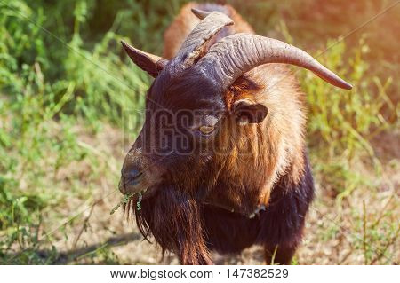Adult big red color horned goat with long beard chewing grass walking on summer pasture clear day. Breeding livestock.
