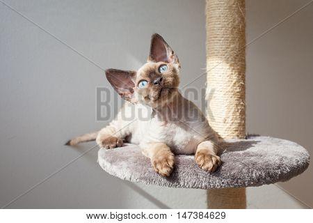 Funny little Devon Rex kitten is sitting on scratching post. Cute kitten with blue eyes is using scratching post. Cat scratching tree. Domestic animals