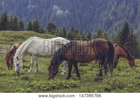 Herd Of Grazing Horses