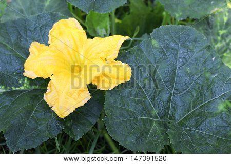 Pumpkin flower. beautiful yellow pumpkin flowers in the garden : Close up