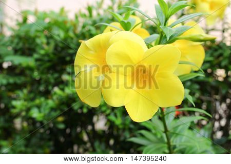 Golden Trumpet  Allamanda cathartica willow-leaved climber blooming in the garden. Yellow flower.