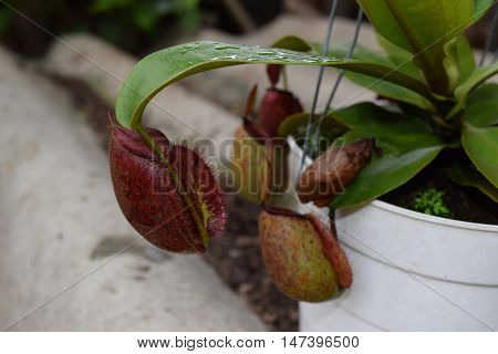 red pitcher Nepenthes canivorous plant  in pot