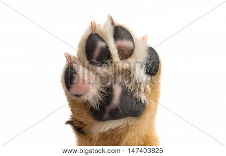 puppy paw animal on a white background