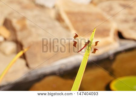 Dragonfly sitting on a green leaf. It is clearly seen an insect's wings. Taking Close-up. The background is blurred.