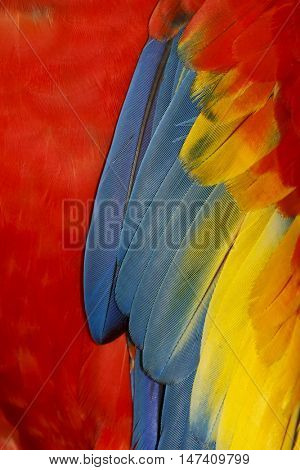 Bird feathers. Scarlet Macaw bird plumage. Abstract nature background. Red, blue, yellow feather pattern.