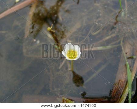 Water Buttercup