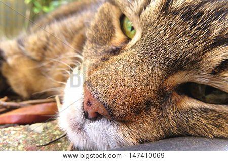Sleepy tabby cat orange nose and green eyes close up